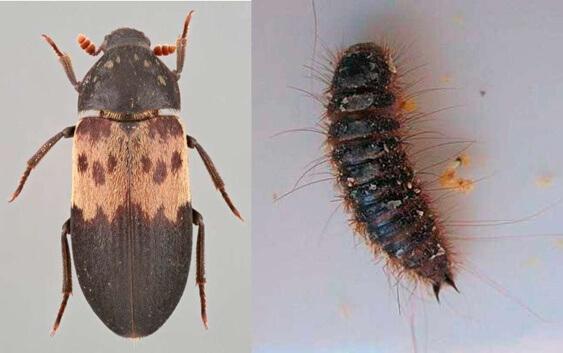 Deri Böceği İlaçlaması Nasıl Yapılır?